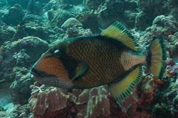 BD-150425-Maldives-8162-Balistoides-viridescens-(Bloch---Schneider.-1801)-[Titan-triggerfish].jpg